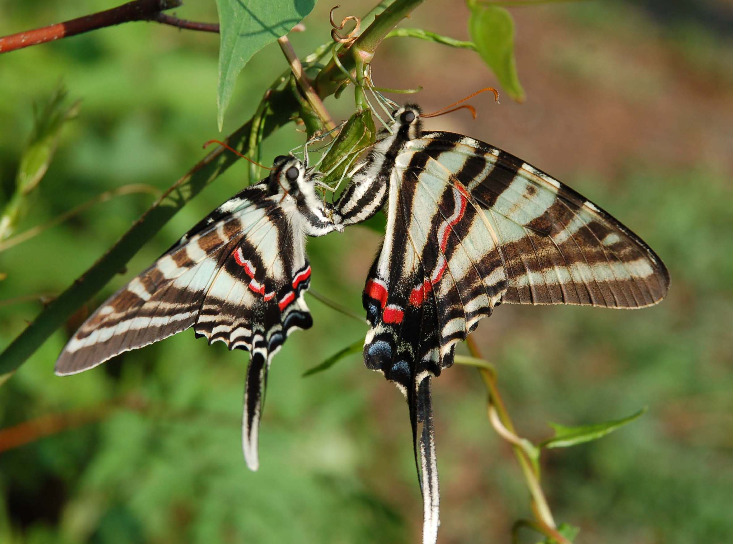 Butterfly Genus Species